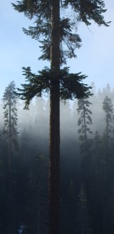 red-fir-clouds-behind-sm.jpg